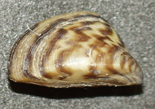 Image of Dreissena polymorpha