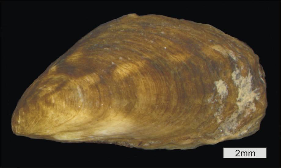 Image of Mytilopsis leucophaeata