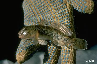 Image of Neogobius melanostomus