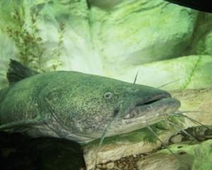 Image of Pylodictis olivaris