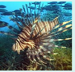 Image of Pterois volitans